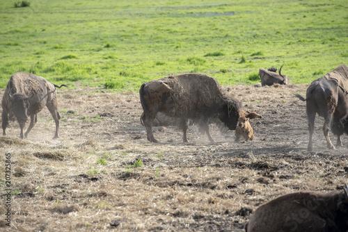 Mom and Baby Buffalo Poster