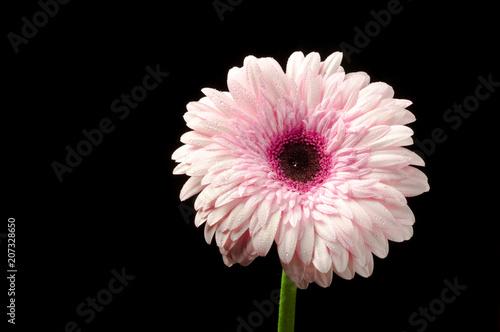 Foto op Plexiglas Gerbera gerbera pink on black background