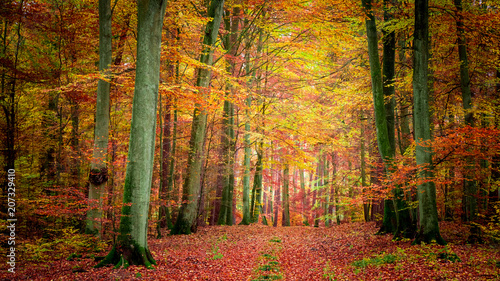 Fotobehang Bossen Golden and brown in the forest in autumn, Poland