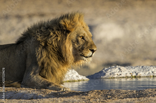 Fotobehang Leeuw Male lion drinking in the Etosha National Park in Namibia