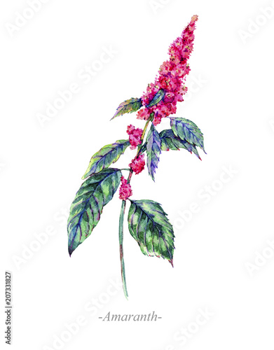 Watercolor summer medicinal flowers, Amaranth plant Canvas Print