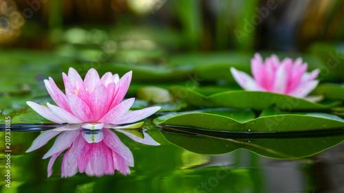 Tuinposter Waterlelies Seerose (201805)