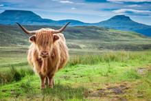 Brown Highland Cow, Green Fiel...