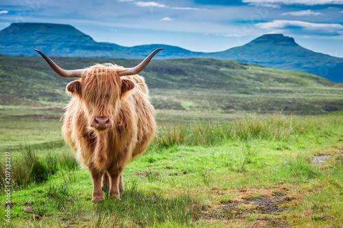 Spoed Fotobehang Schotse Hooglander Brown highland cow, green field and blue sky, Scotland