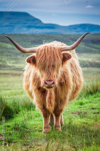 Spoed Fotobehang Schotse Hooglander Closeup of brown highland cow in Scotland