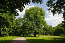 Oak Tree In Park Moscow . (Mos...