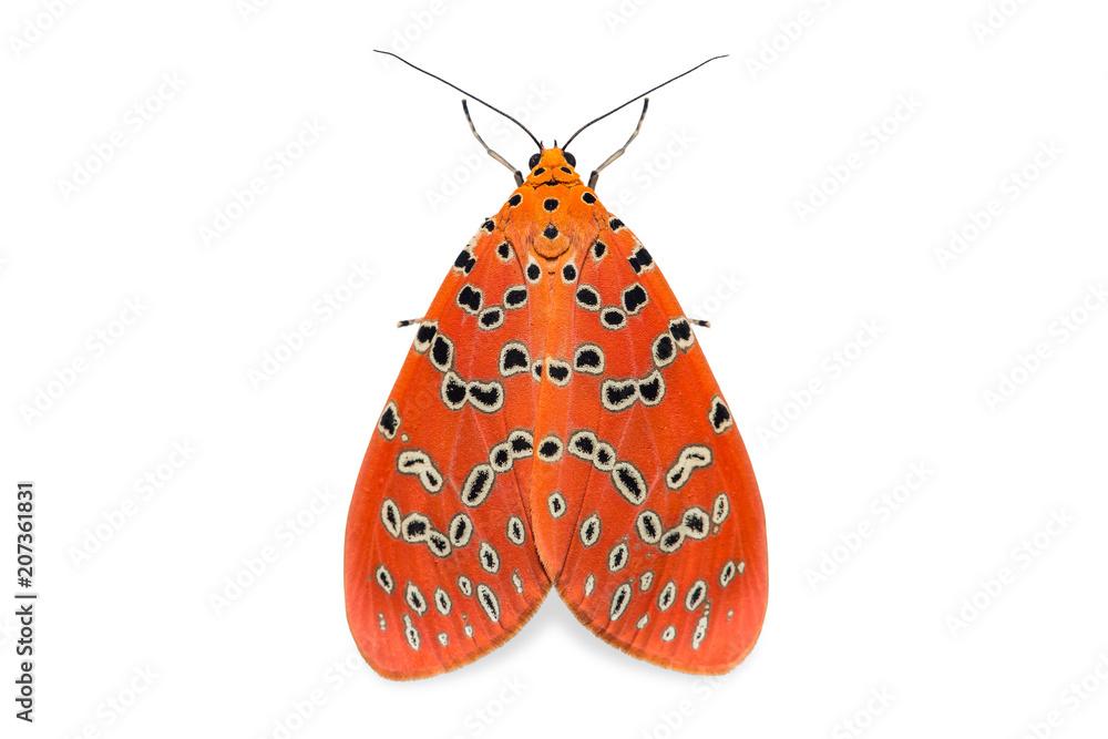 Crotalaria Podborer (Mangina argus) moth