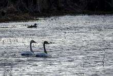 A Pair Of Mute Swan Swimming I...