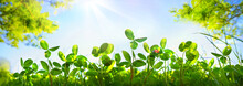 Fresh Green Grass Clover And Ladybug Against Blue Sky In Summer Morning In Rays Of Sunlight In Nature, Macro, Panoramic View, Landscape, Copy Space.