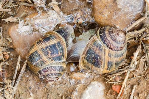 Cópula de caracoles comunes de jardín. Helix aspersa. Reproducción.