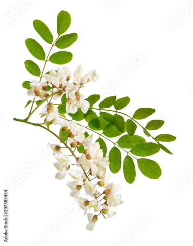 Photo Flowers of Robinia pseudoacacia or black locust.  Isolated.