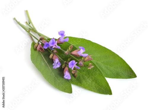 Fototapeta Salvia officinalis, garden sage or culinary sage. Isolated on white obraz