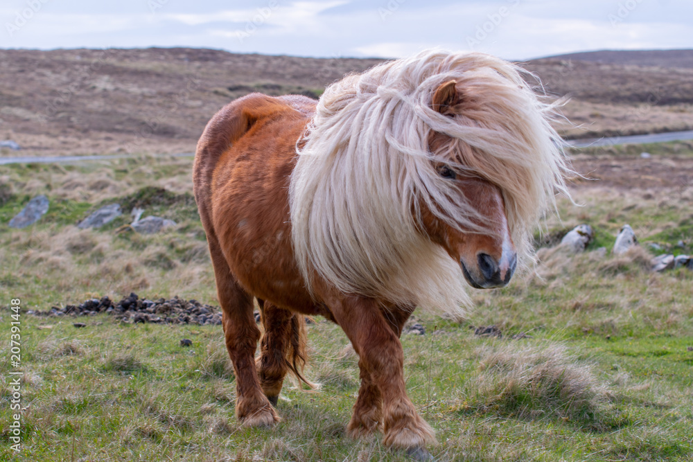 Fotografie, Obraz A portrait of a lone Shetland Pony on a Scottish Moor on the Shetland Islands
