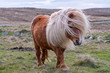 canvas print picture - A portrait of a lone Shetland Pony on a Scottish Moor on the Shetland Islands