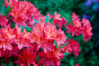 Close-up of pink rhododendron. Selective focus and shallow depth of field