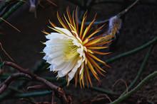 Cactus Queen Of The Night. Night-blooming Cereus Latin Name Selenicereus Grandiflorus.