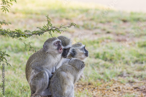 Photo Group of 4 Vervet Monkies sitting on a rock looking curious