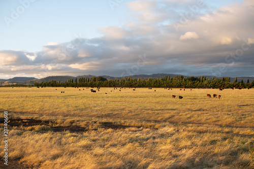 Poster Miel Beef cattle in pasture at sunset