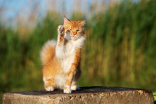 Adorable Red And White Cat Wav...