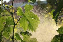 Grape Plant Treating In Vineyard