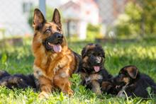 German Shepherd With Its Puppi...