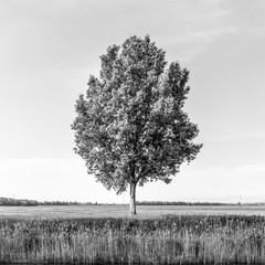 FototapetaTree in the field by river in spring. Black and white image.