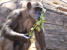 Chimpanzee Eating Leaves And L...