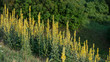 Leinwandbild Motiv Flowering Mullein Plants on the Forest Background.