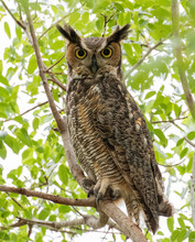 Portrait Of A Great Horned Owl Sitting In A Tree