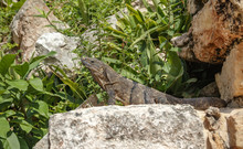 A Green Iguana Is Heated On Ancient Stones Among The Foliage. Mexico