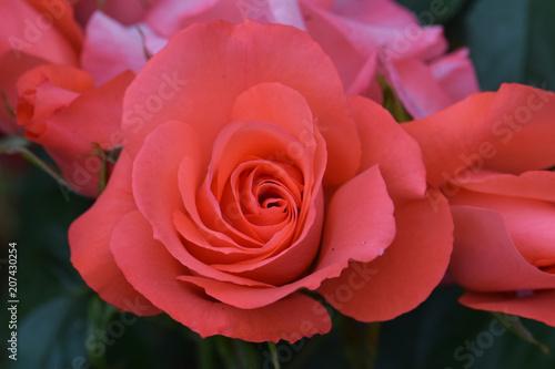 Tuinposter Bloemen Marmalade Skies Rose