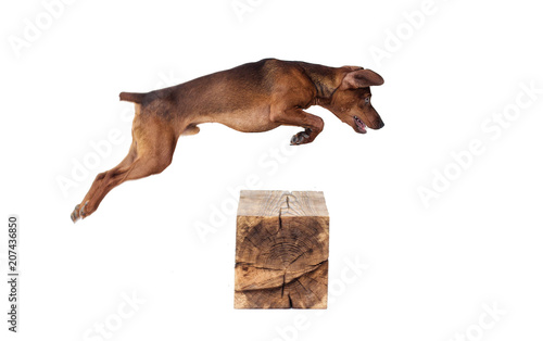 Aluminium Prints Deer Dog Jumping On A White Background