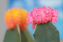 Cactus Orange Et Rose