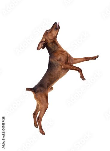 Aluminium Prints Deer Miniature Pinscher Dog Jumping On A White Background
