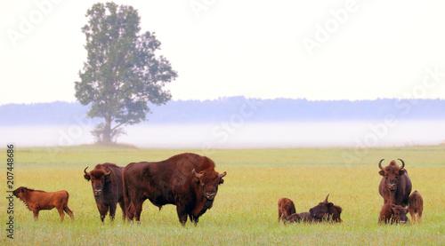 Photo Stands Bison European Bison. Bison bonasus.