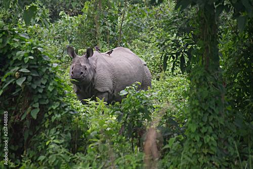 Fotobehang Neushoorn One-horned Rhino B