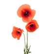 Red poppy flowers in a row on white.