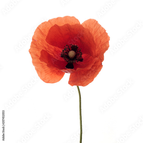 Foto op Canvas Poppy bright red poppy flower isolated on white