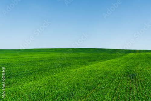 Fotografie, Obraz  Fresh green wheat field and blue sky ideal for nature background