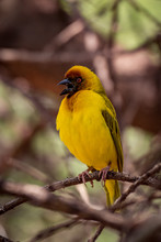 Masked Weaver Bird Opens Mouth On Branch