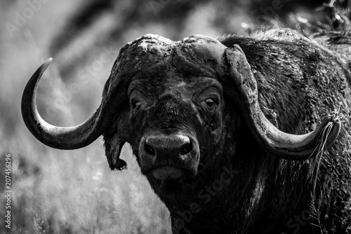 Fotobehang Buffel Mono close-up of Cape buffalo facing camera
