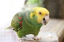 Yellow-headed Amazon / Parrot