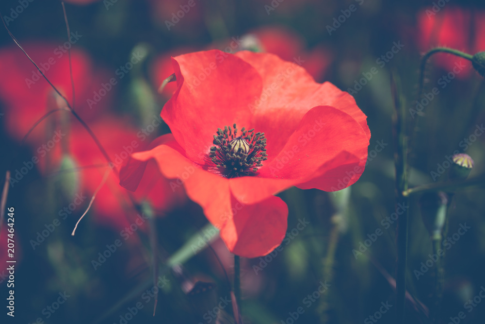 Poppies flower blossom. Beautiful wild field of red poppies with selective focus.