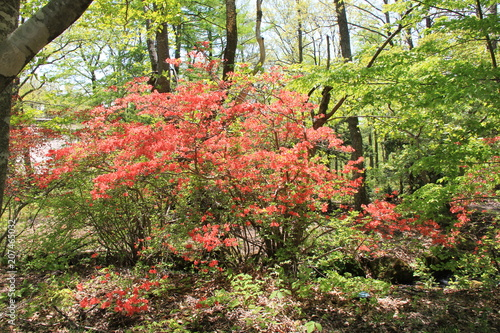 Deurstickers Azalea 山の中で大きく育ち、たくさんの花を咲かせたツツジ(宮城県)