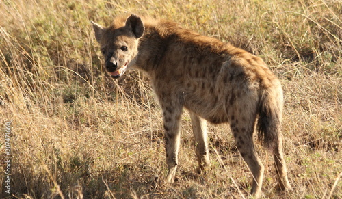 In de dag Hyena Young hyena on the African Savannah