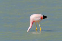 Andean Flamingos, Phoenicoparr...
