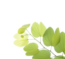 Young Bauhinia Leaf Isolated O...