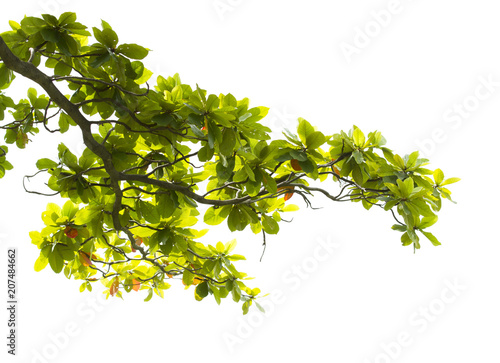 Leinwand Poster Green leaves with branch isolated on white background
