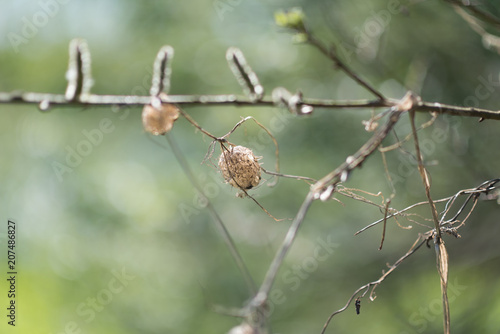 A spider cocoon with small cubs of a spider hangs on a branch of a plant bush outdoors Canvas Print