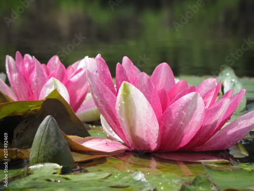 Poster de jardin Nénuphars Beautiful flowering water lily pond